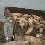 В Иркутской области домашний скот рискует «подцепить» африканскую чуму (видео)