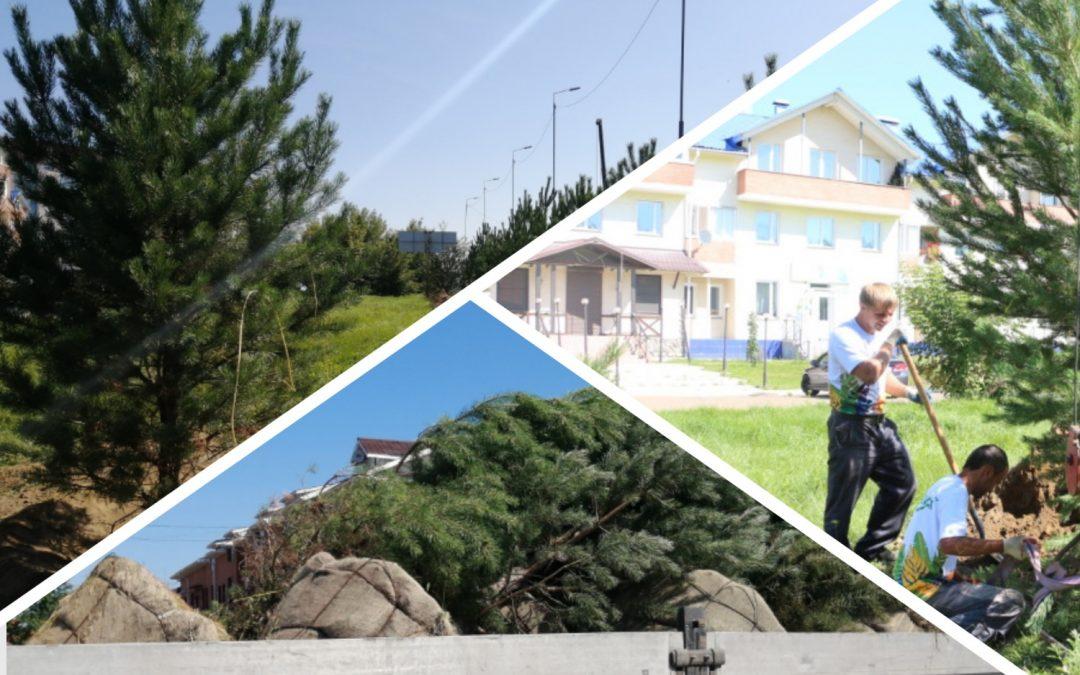 Высадка крупномерных деревьев осуществляется на улицах Ангарска