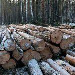 Глава Ангарского лесничества подозревается в выдаче незаконных разрешений на рубку леса