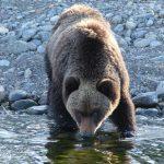 Иркутянина спасли от медведя на Кругобайкальской дороге