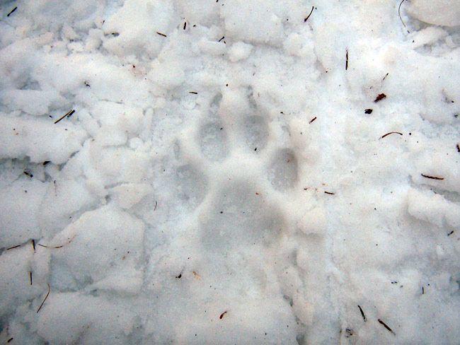 Волчья стая вышла к людям в Иркутской области