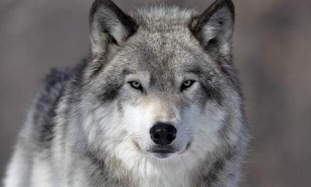 Из вольера частного дома сбежал волк
