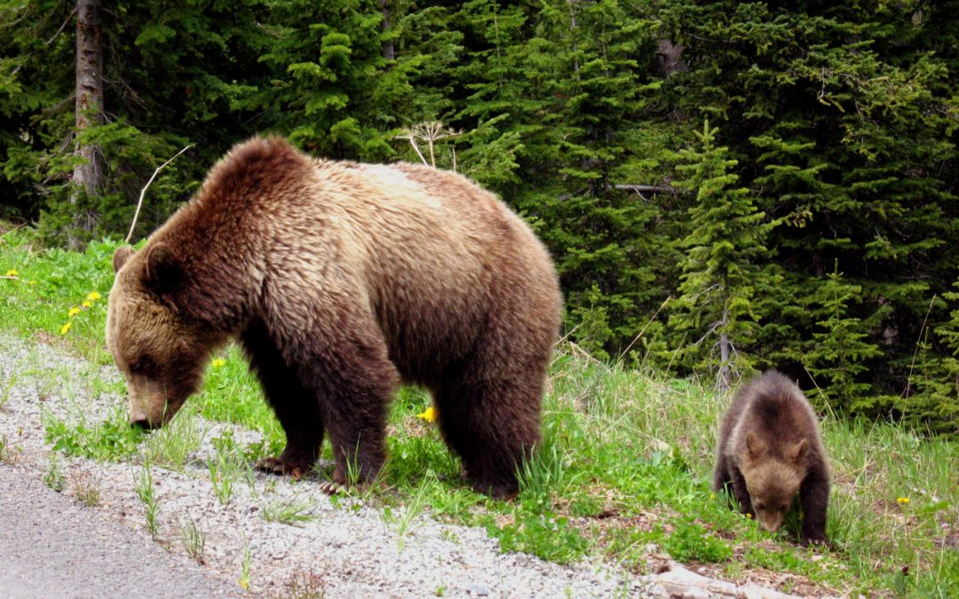 Следы медведицы и годовалого детеныша заметили на Большой Байкальской тропе.